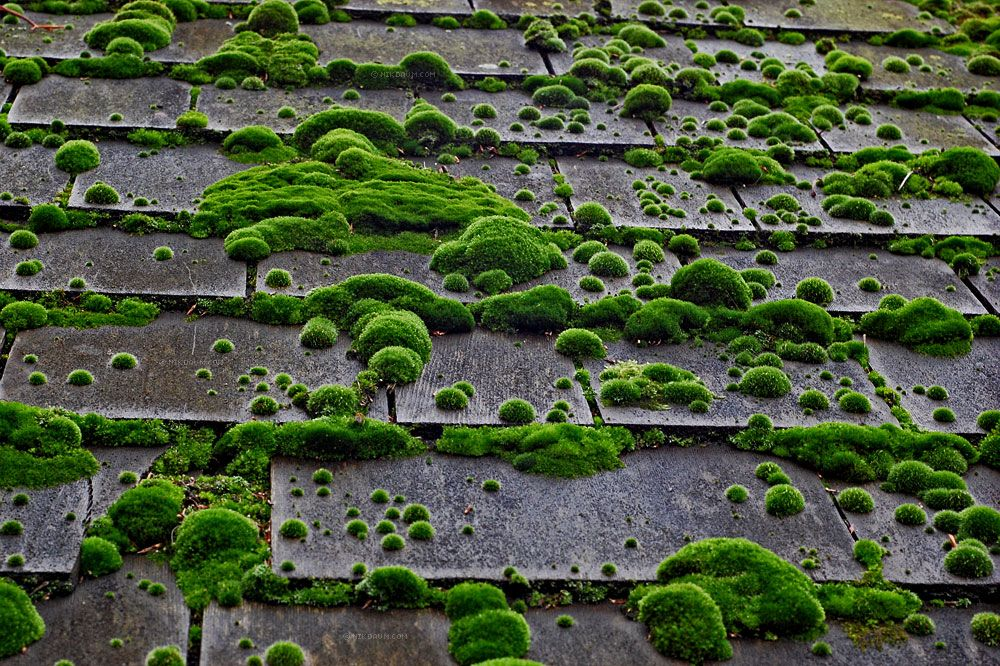 Bryophyte Cedar Roof Roof Shingles Roof Cleaning