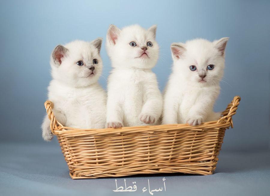 نقدم لكم في هذا المقال مجموعة مميزة وجديدة من اسماء القطط سواء ذكور أو إناث اسماء القطط اسماء قطط اسما Cute Cats And Kittens Cute Kitten Gif Kittens Cutest