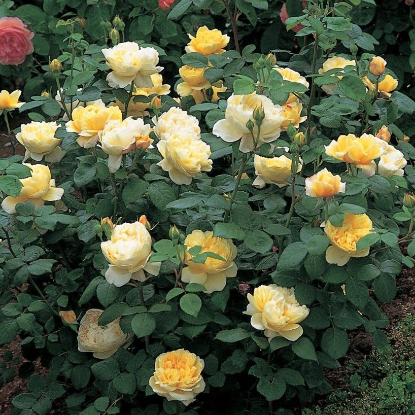 Charles Darwin Bare Root Roses Delivery Type With Images Shrub Roses English Roses Growing Roses