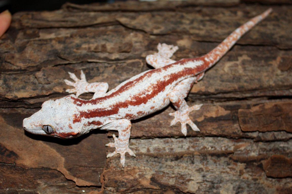 Terrarium for rhacodactylus auriculatus hledat googlem reptiles