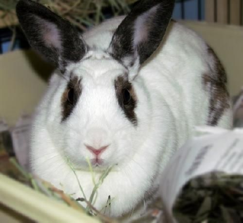 Virginia Selina Id 5685398 Is A Bunny Rabbit Seeking A Loving Fur Ever Home Adopt Her Thru Angels Of Assisi 415 Campbell Ave S Animals Adoption Small Pets
