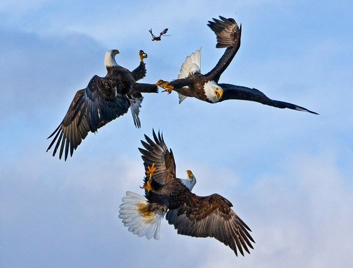 Jose Hernandez captured this amazing shot of three eagles fighting over a fish in Homer, Alaska,