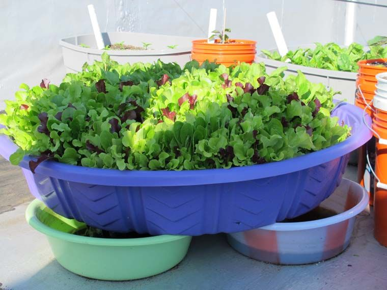 Lovely Kiddie Pool Used As A Planter For Lettuce