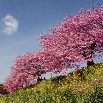 Pink Weeping Cherry Tree Growing Tree Fast Growing And