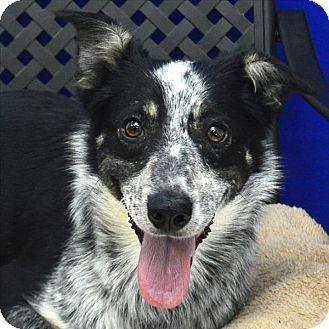 Midland Tx Border Collie Blue Heeler Mix Meet Lady A Dog For Adoption Http Www Adoptapet Com Pet 18031899 Midlan Border Collie Mix Pets Kitten Adoption