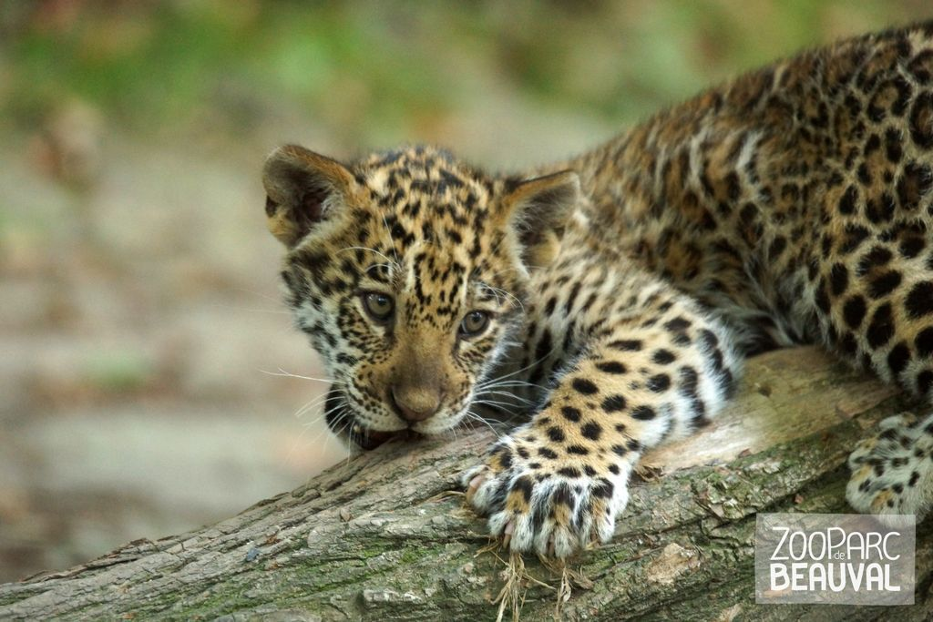 Kumal b b jaguar leopard snow leopard cheetah ocelot jaguar panther puma animals - Bebe du jaguar ...