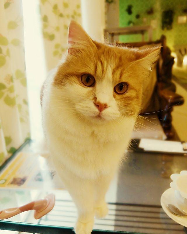 遊んでほしそうな銀時。 #ねこカフェなる #猫カフェなる #長野県長野市 #猫カフェ #naganojapan #catcafe #nekocafenaru #nekocafe #neko #catscafe #catstagram #cats_of_instagram #catstuff #cat #cats #ねこカフェ #ネコカフェ #銀時 #マンチカン