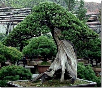 The oldest known bonsai trees still living can be found in a private