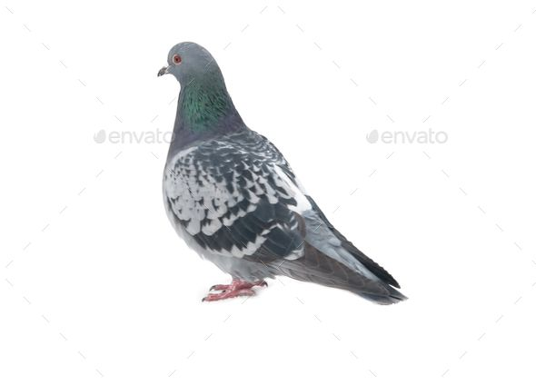 wild pigeon by perutskyy wild pigeon isolated on white background