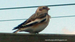 (Photo) Snow bunting #mortongrove A snow bunting, which flies south from the arctic for winter, photographed in Morton Grove, Illinois. #mortongrove