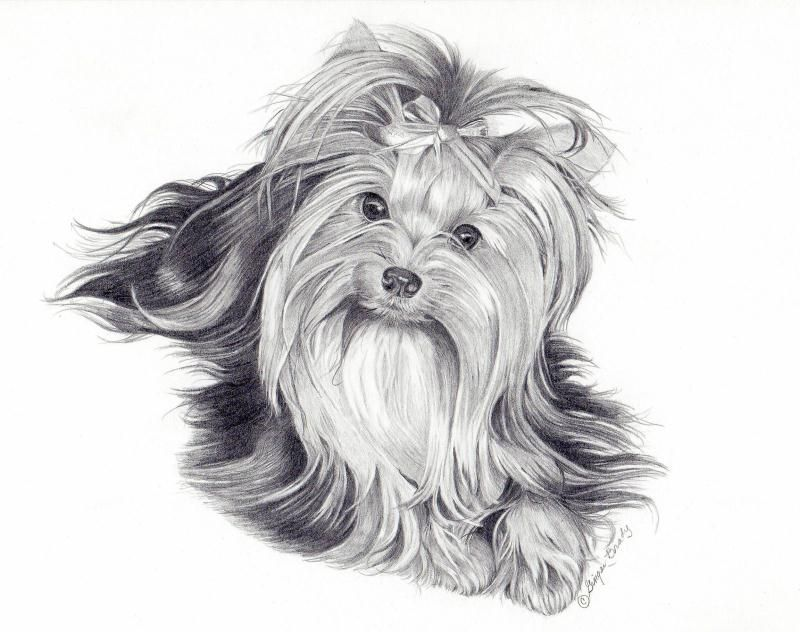 Line Drawing Of Yorkshire Terrier : Yorkshire draw pesquisa google graphisme pinterest