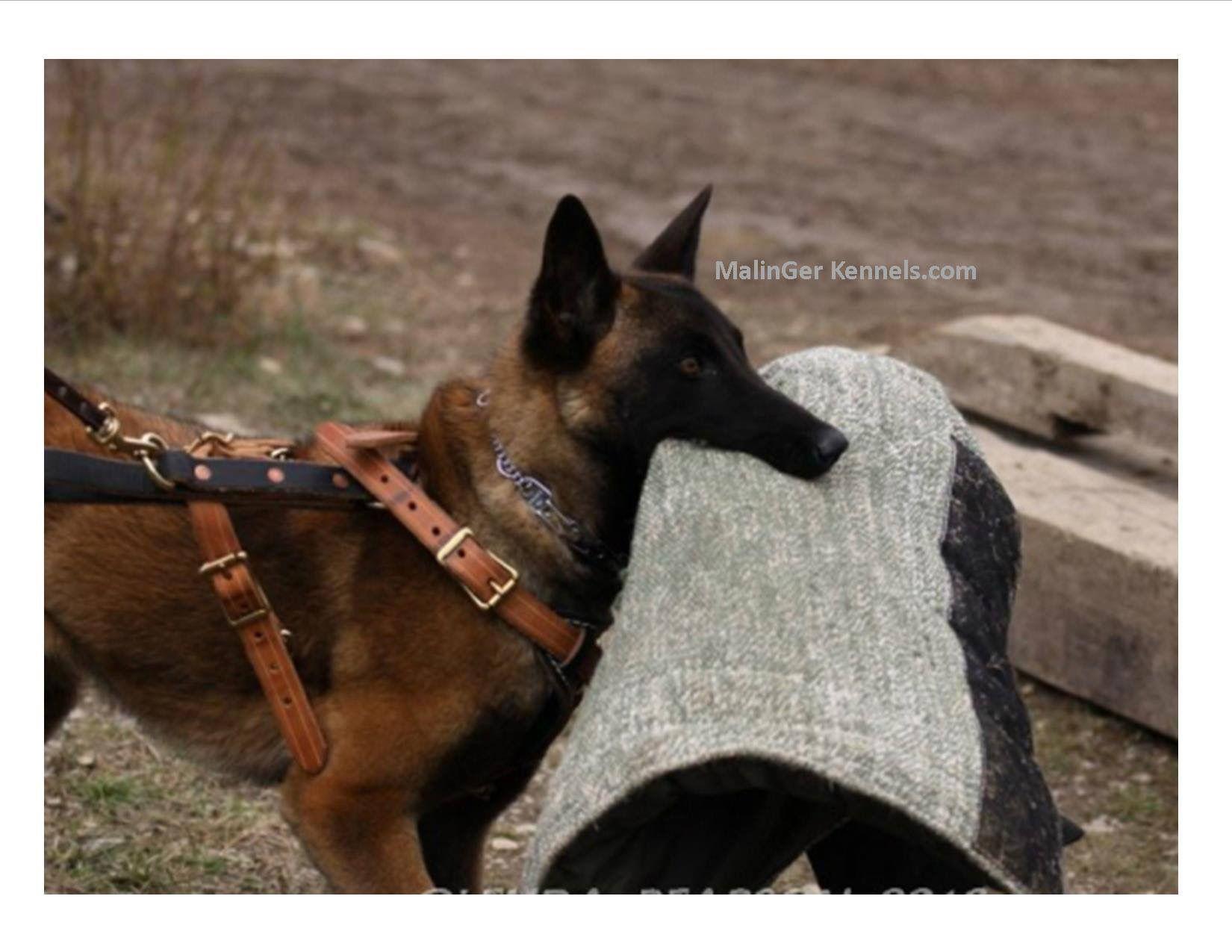 Belgian Malinois With Images Belgian Malinois Dog Belgian