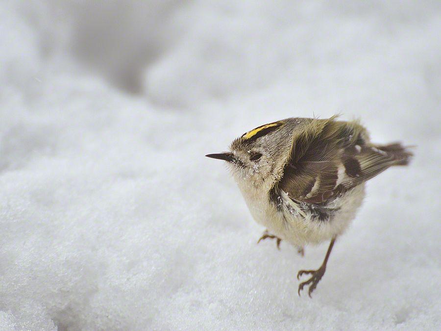 The little bird to endure a snowstorm