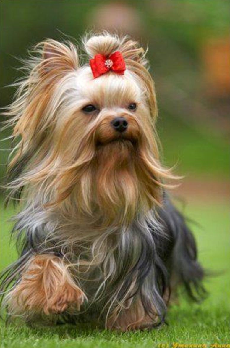 Long Hair Yorkie Details About 80pcs Yorkie Dog Hair Bows Small