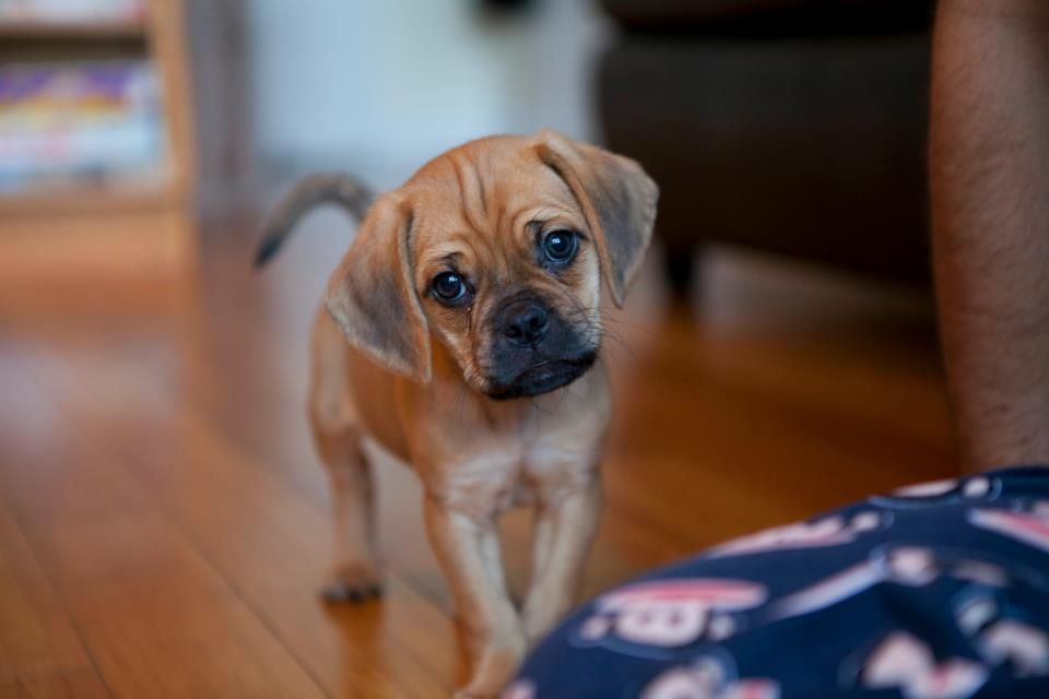 Puggle Puppy Puggle Puppies Cutest Dog Ever Cute Animals