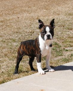 beautiful black brindle and white boston terrier puppies brown and black boston terriers google search a dog is 8659