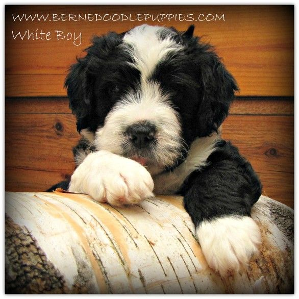 Ontario Breeder Of Bernedoodle Bernesedoodle Bernese Mountain