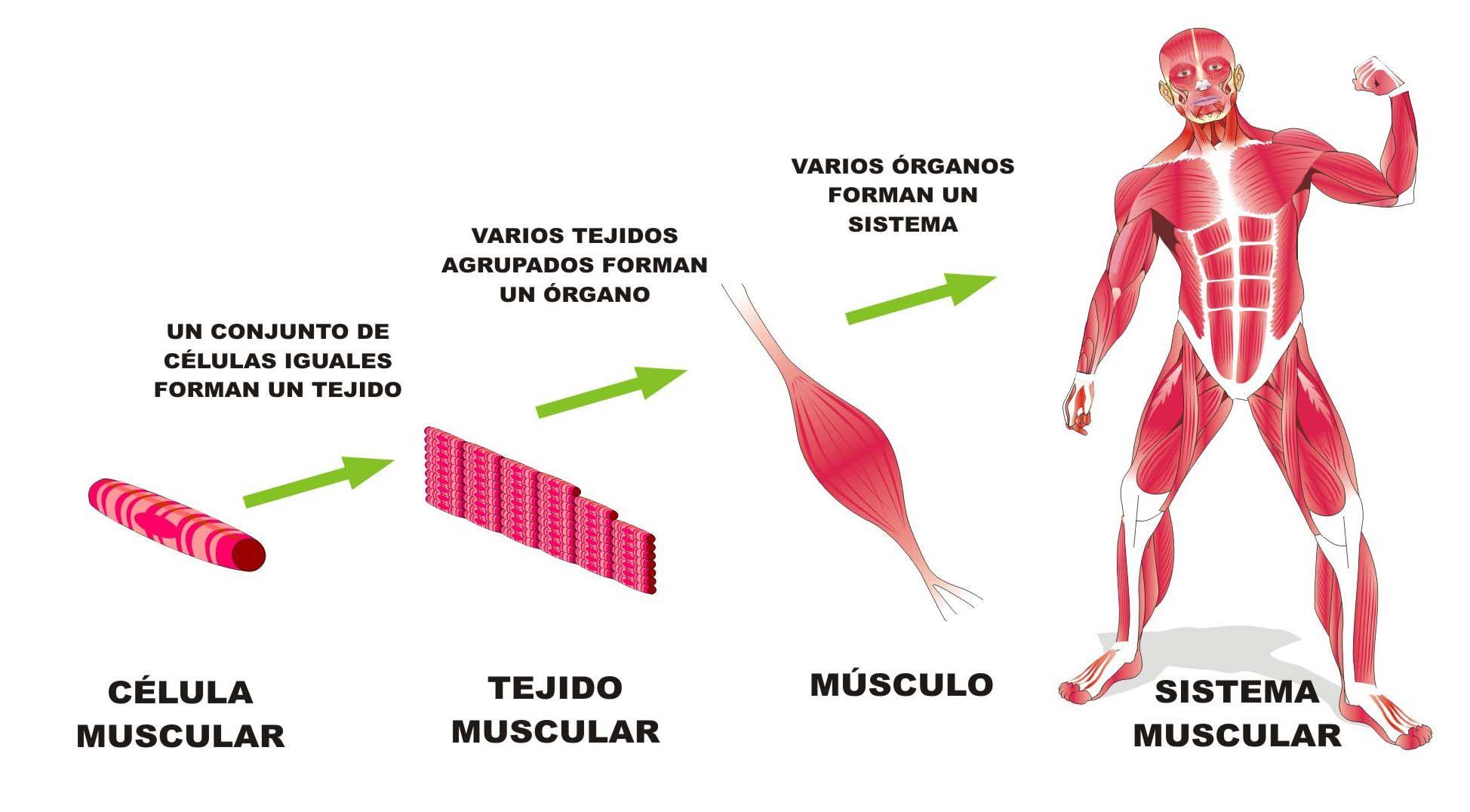Organismo pluricelular | Organizacion de la materia, Cuadernos interactivos  de ciencias, Clases de celulas
