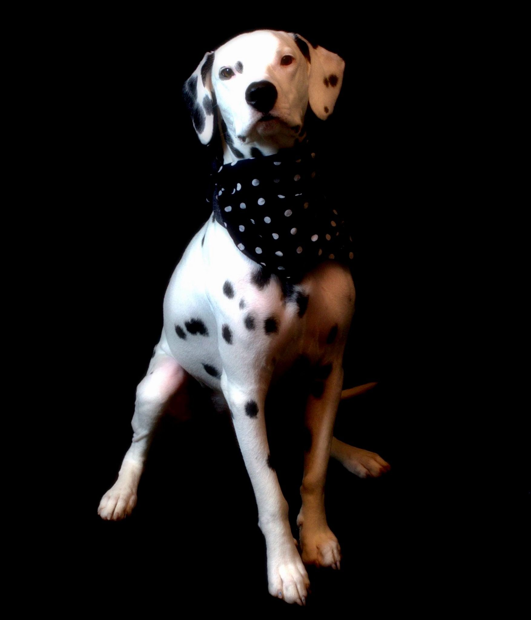 Dalmatian 動物