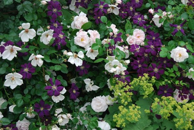 Driveway Garden, June: Old pink rose with Clematis 'Etoile Violette' growing through it and lady's mantle at its feet.