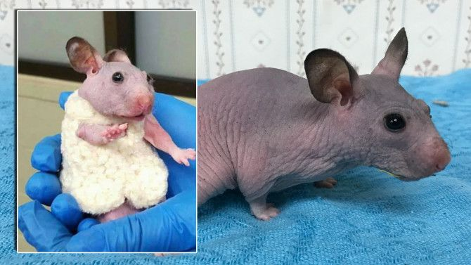 A hairless hamster named Silky was given a tiny sweater to keep warm after a staff member from the Oregon Humane Society saw her shivering in her cage.
