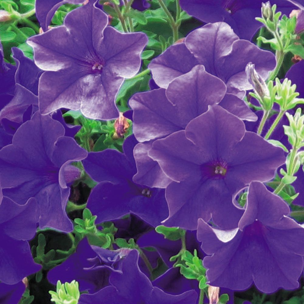 Petunia Trailing Surfinia Blue Annual Plants Thompson
