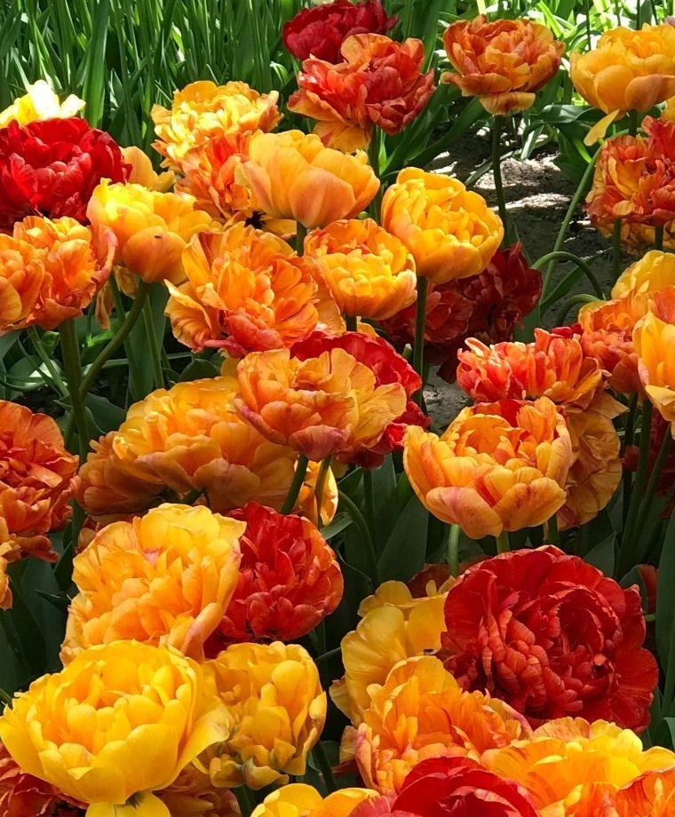Tulip Sunlover