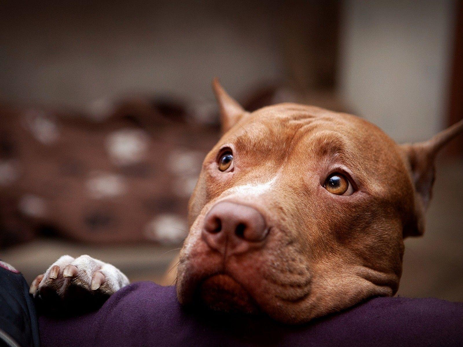 pitbull dog wallpaper Αναζήτηση google pitbull dogs pinterest