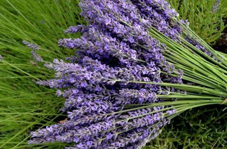Lavender flower. Exoticness and practicalness - http://flolly.com/flowers/flower-types/lavender
