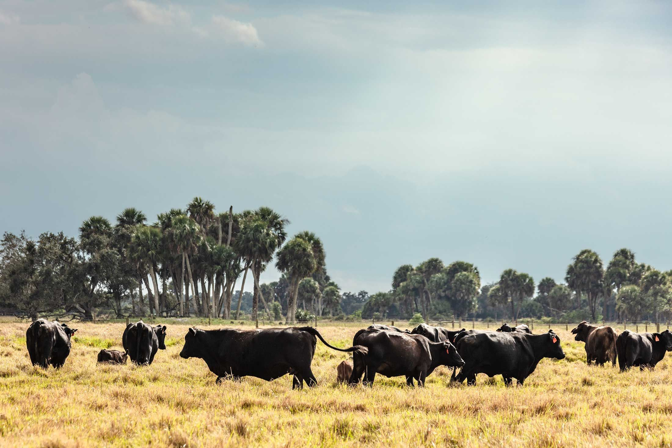 Surviving climate change starts with heatproofing the cow
