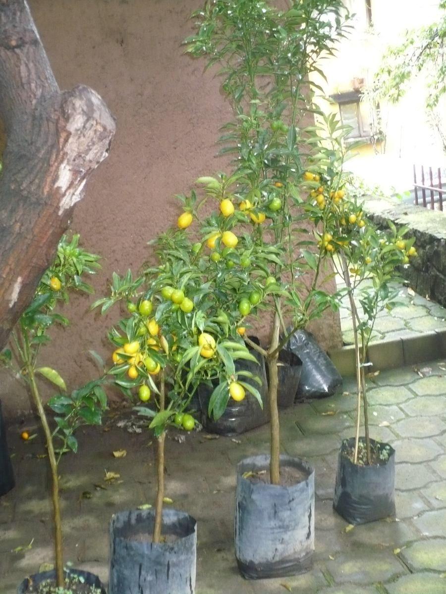 Limonero eureka en maceta macetas pinterest - Limonero en maceta ...