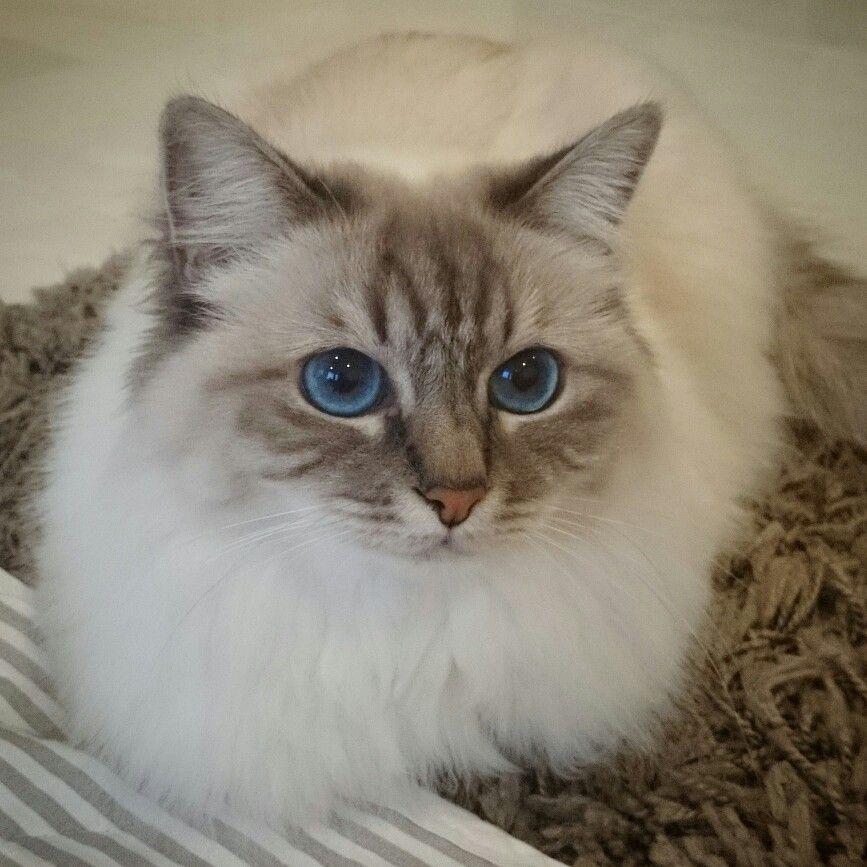 Sacred Birman Cat Nessa Blue Eyes Cute Siamese Cats Siamese Cats Blue Point Birman Cat