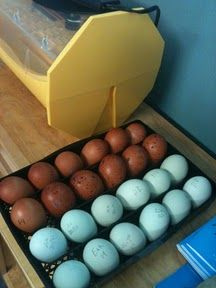 A Charmed Life: Itching to Hatch Chicks--Want Your Own Olive Eggers or French Coppered Black Marans?