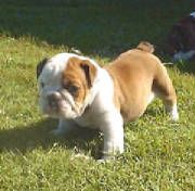 Miniature Bulldog Please Be Real Please Be Real Please Be Real