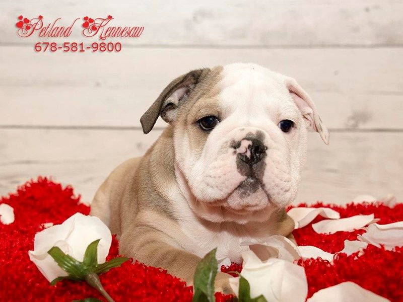 Checkout This Cute English Bulldog 19869 At Petland Kennesaw