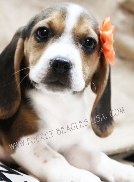 Long Long Ears And An Amazing Blazed Face Only The Best At Pocket Beagles Usa Com Cute Animals I Love Dogs Beagle Puppy
