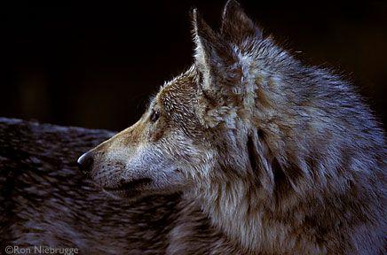 Lihhtbox Journal Art Bear Wolf