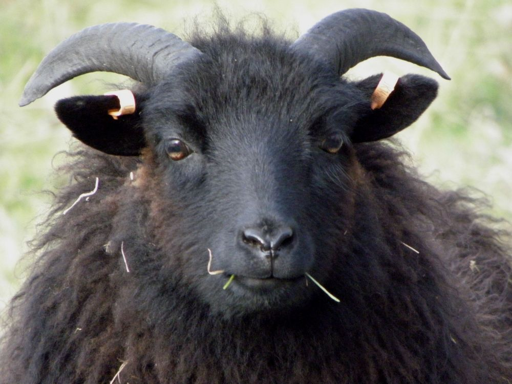 Funny Black Sheep Meme : The unexpected perspective slaughtering the black sheep