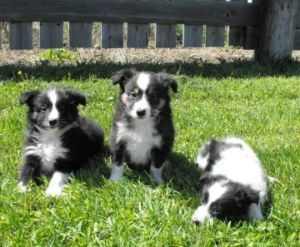 I Love Cute Little Collies Sheltie Pet Dogs Dogs Puppies