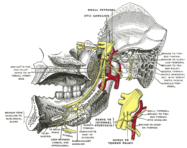 Gray782 - Facial nerve - Wikipedia, the free encyclopedia | Medical ...