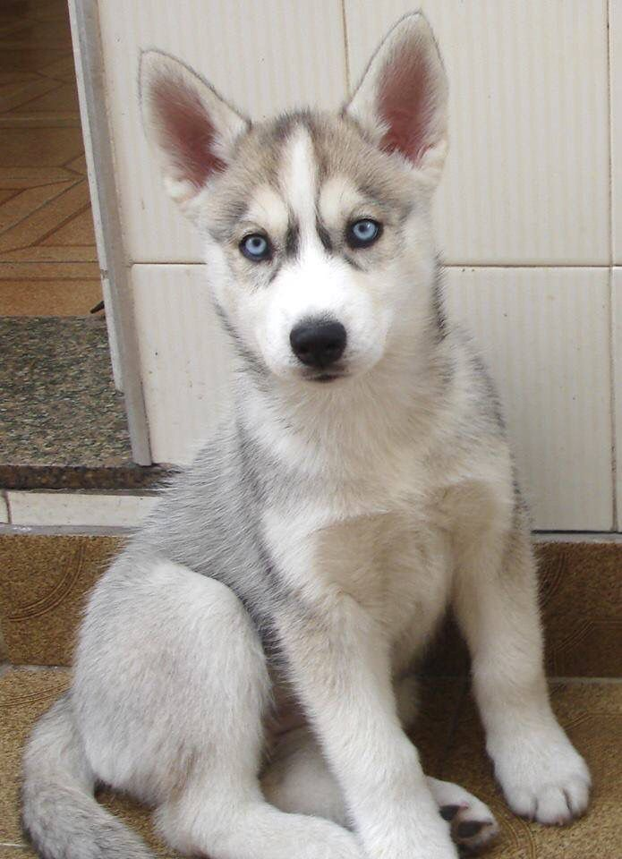 Grey And White Husky With Blue Eyes My