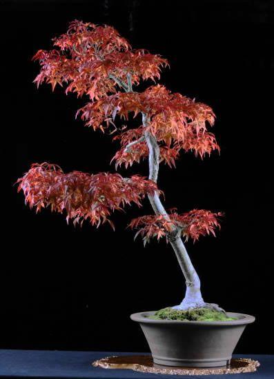 Japanese Maple Acer Palmatum Seigai By Warren Hill Style