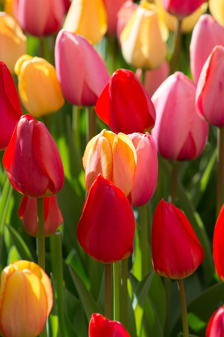 Planting Tulips This Fall Go For Big And Bright This Sunset Mix Blend Includes Three Darwin Hybrids Red Planting Tulips Rose Garden Design Beautiful Flowers