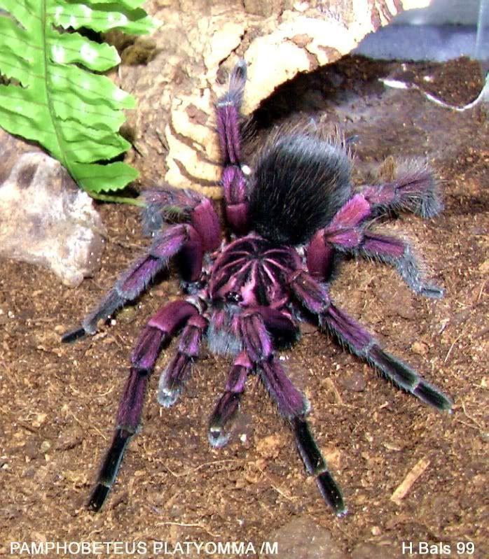 Tarantula purple pinktoe animal spirits pinterest for Single blue rose for sale