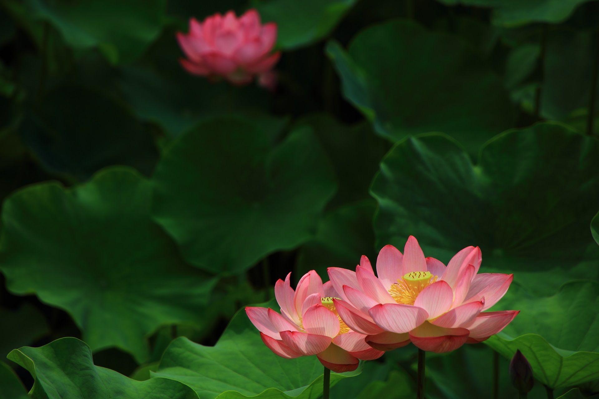 当たり年の美しい蓮の花 ハスの花 蓮の花 花