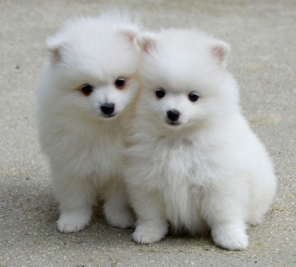 Volpino Italiano Puppies Cuccioli Di Volpino Italiano Tiere Hunde