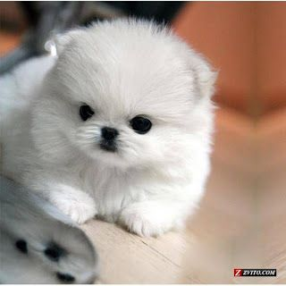 Puppies Cute Dogs Pomeranian Teacup