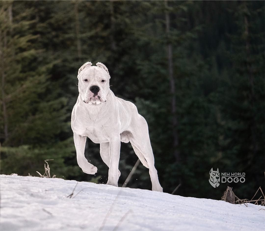 Quino Dogo Argentino Dogoargentino Newworddogo C Bully Breeds Dogs Dog Argentino Beautiful Dogs