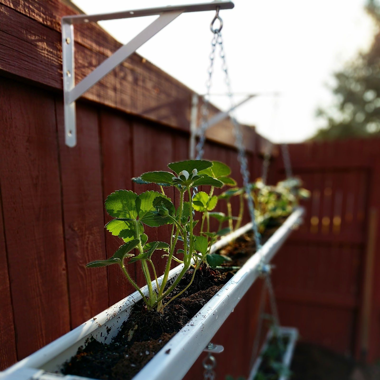 Strawberry Gutters Hanging Planters Gutter Garden Strawberry Planters Diy Modern Garden