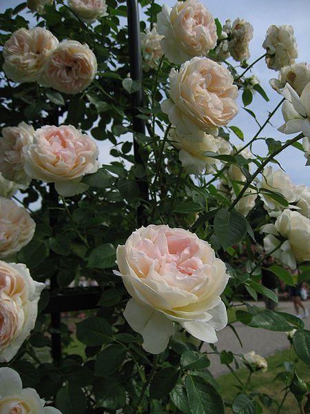 rosier meichavrin mon jardin ma maison recherche google - Mon Jardin Ma Maison
